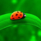 litleladybug