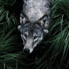•ささやくオオカミ•