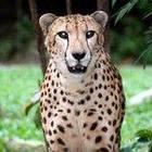 Cheetah McCat
