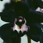 black_orchids