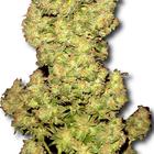 MedicinalMarijuanaZone.com