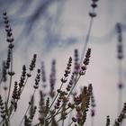 Purpledust