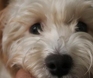white dog poodle mix
