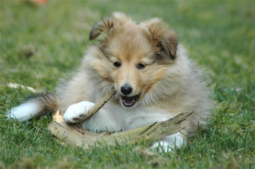 Sheltie Puppy Chewing | Puppy Dog Photos and Pictures