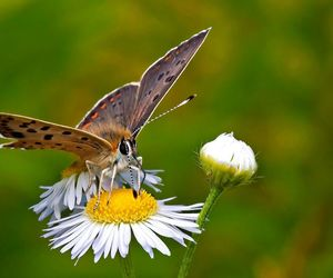 butterfly wildflower
