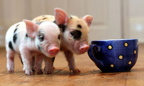 Micro-pigs-at-little-pig--006_large