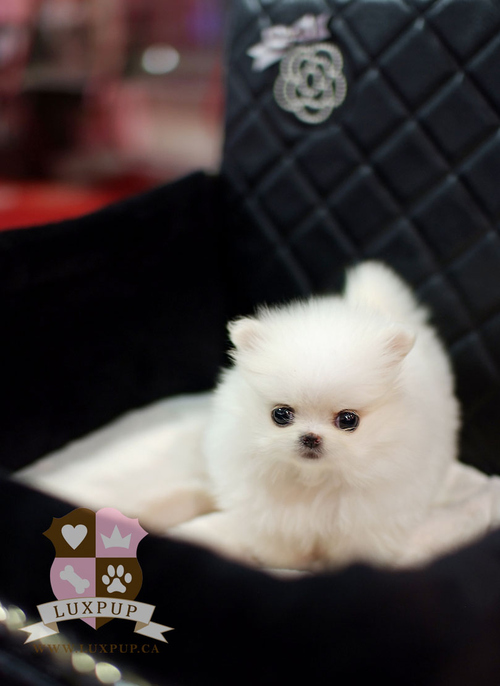 Fluffy Dogs That Stay Small http://weheartit.com/entry/10398396