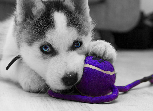 -blue-eyes-cute-delicate-dog-eyes-Favim.com-66255_large.jpg