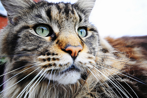 Maine Coon on Flickr - Photo Sharing!