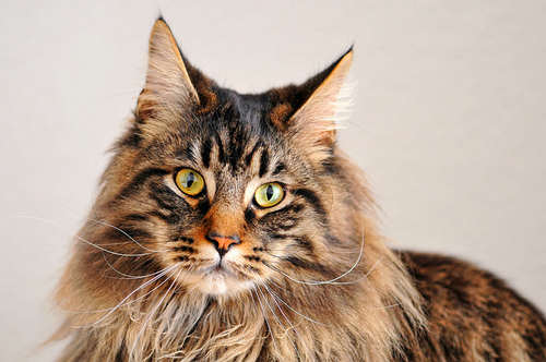 Elixir the maine coon | Flickr – Condivisione di foto!