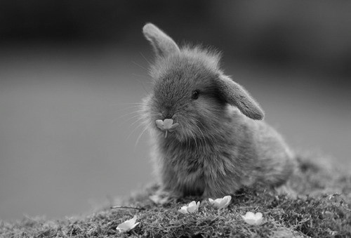 animals, black and white, bunny, bunny!, cute, cute rabbit - inspiring picture on Favim.com