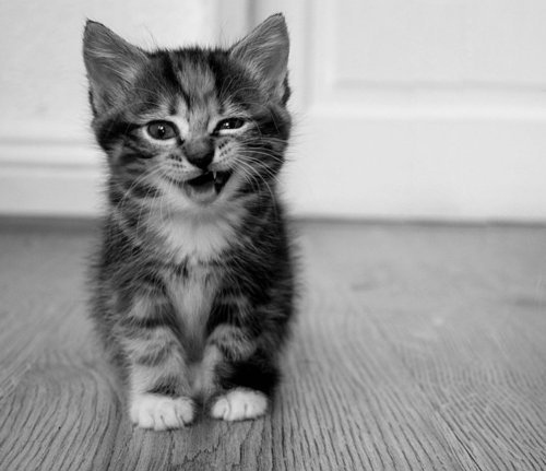 Black and white cat cute kitten photography inspiring picture on favim