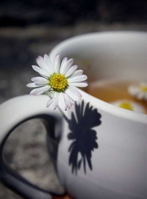 Daisy_grows_on_a_cup_by_tiroko-d3ip5ci_large
