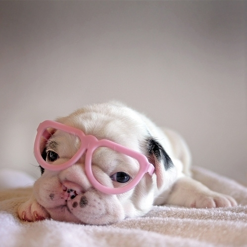  adorable, cute, dog, glasses, pink, puppy   inspiring picture on Favim.com
