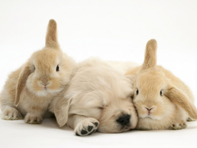 Burton-jane-golden-retriever-puppy-sleeping-between-two-young-sandy-lop-rabbits_large