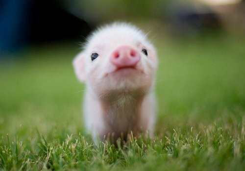 animal, animals, aww, baby, baby pigs, cute - inspiring picture on Favim.com