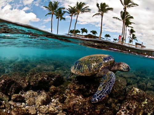 Green-sea-turtle-hawaii_21074_990x742_large