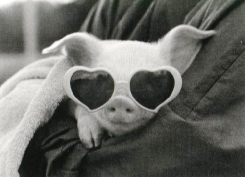 Glasses-pig_large