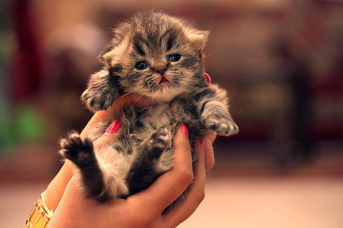 Animals,kitty,adorable,lovely,cat,cute-ff2475e190fc26839277dc3d84b2d607_h_large