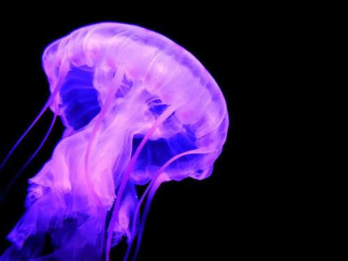 Jellyfish_large