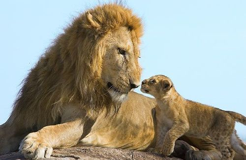 Baby-lion_large