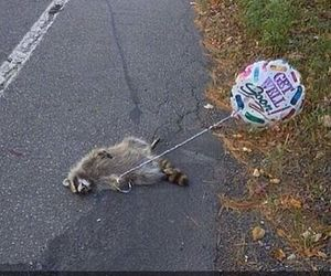raccoon with balloon