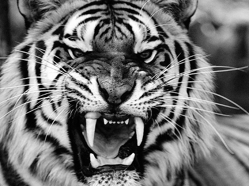 angry white tiger blue eyes - photo #1