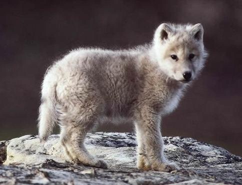 Baby-wolf_1_large_large