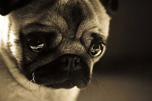 [Image: cute-pug-dog-sad-face-crying_large.jpg]