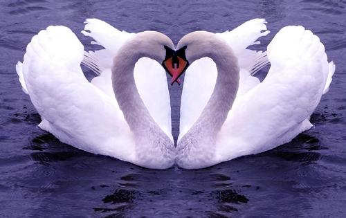 Swan-love-heart-couple_large