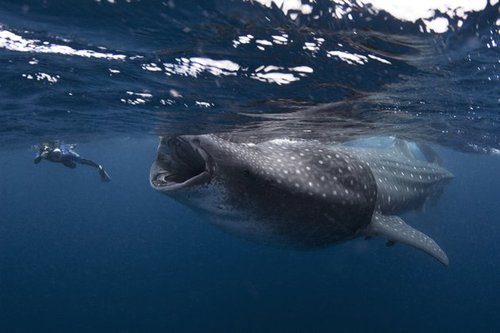 Whale Shark Swim Photos | Whale Shark Swim Pictures   Yahoo! News
