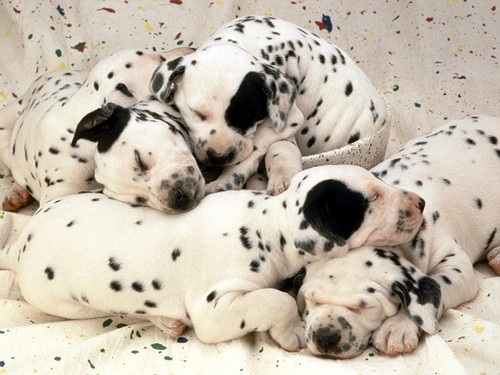 Sweet-dreams-dalmatian-puppies-2-1024x768_large