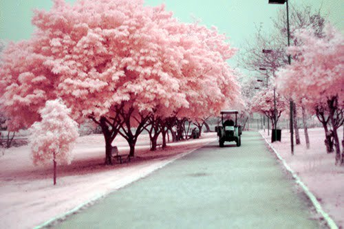 Pink+trees+weheartit_large