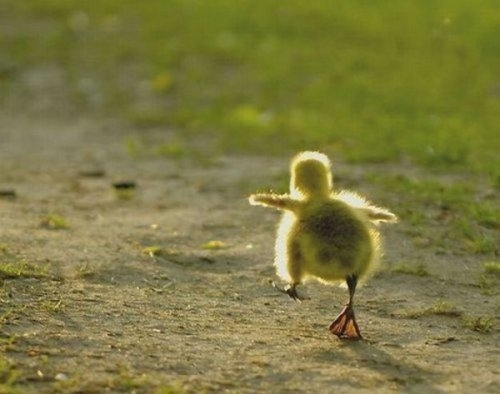 Adorable-animals-cute-duck-favim.com-118183_large