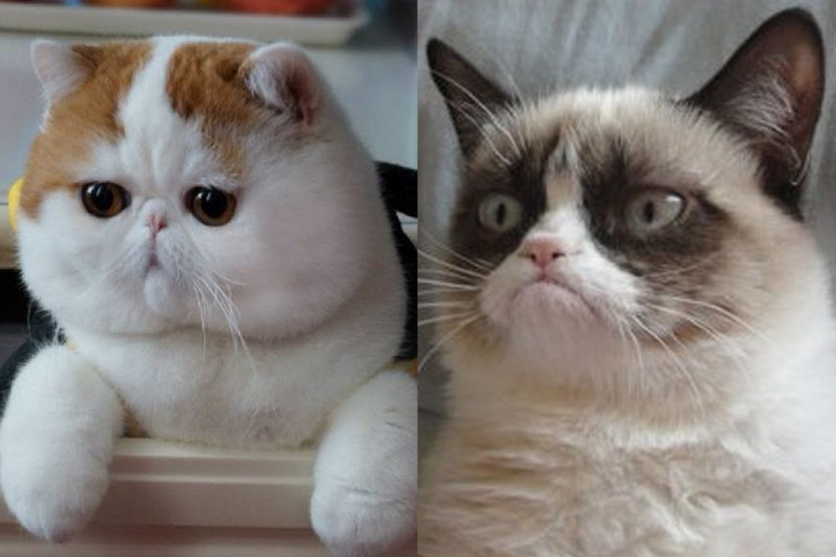 What Is A Grumpy Cat Breed