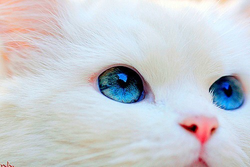 Blue-eyed-114849-500-334_large_large