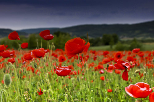 Poppies_by_oupssss-d460nl4_large