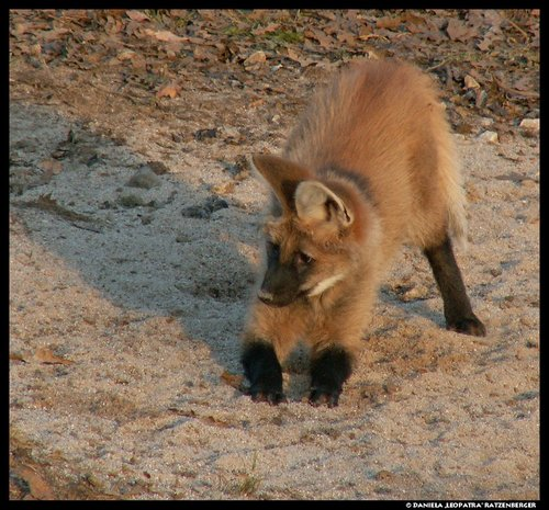 Maned Wolf Pet Maned Wolf Pup Play No2 by