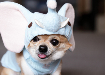 Adorable-chihuahua-costume-cute-dog-favim.com-125125_large