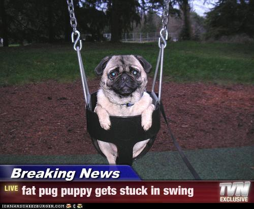 Breaking News - fat pug puppy gets stuck in swing - Cheezburger.com