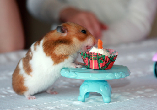 Animals make the world go round♥ - Hamsters + eating cake = CUTEST THING EVER !