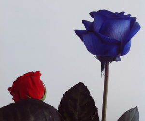 roses blue red love