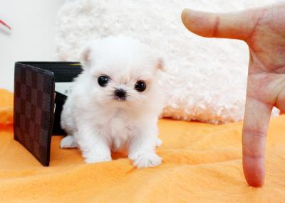 Teacup Maltese Puppies on South Africa Baby Bootsie   Micro Teacup Maltese Puppy For Sale