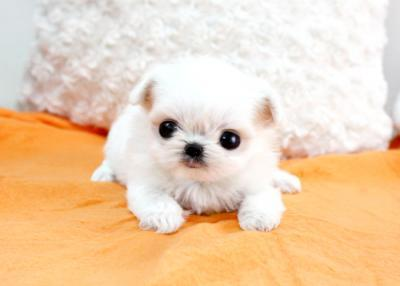 Teacup Maltese Puppies on 332793 South Africa Baby Bootsie   Micro Teacup Maltese Puppy For Sale