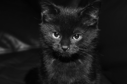 Fluffy Black Kittens With Blue Eyes View topic - Redwoodcl...
