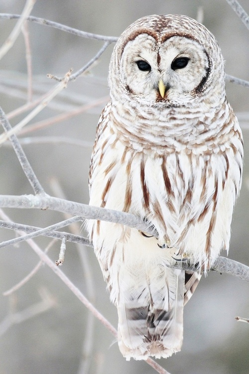 White-owl-640x960_large