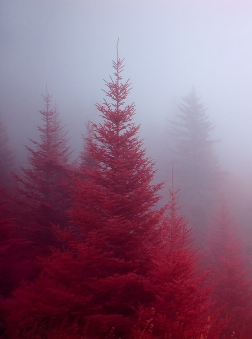 Crimson-mist-pink-tree-favim.com-137536_large