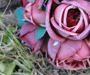 dead roses photography
