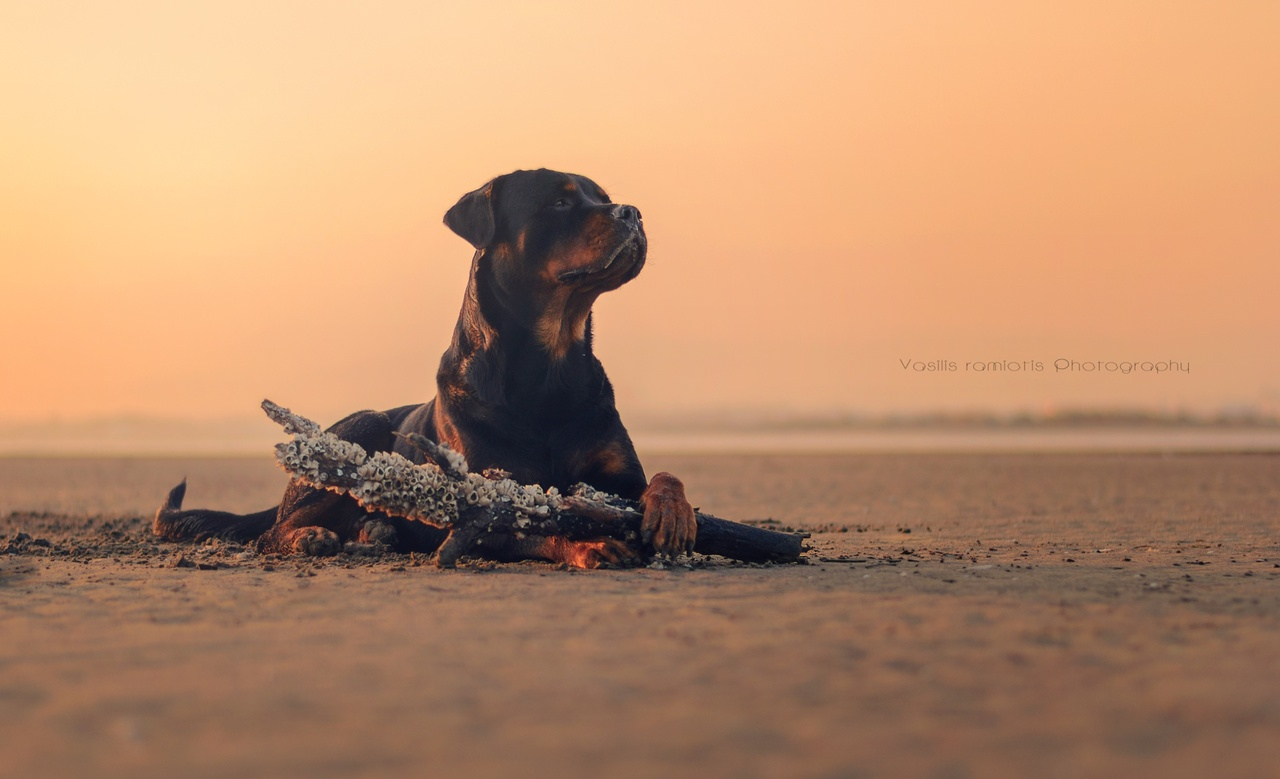 Image result for rottweiler tumblr