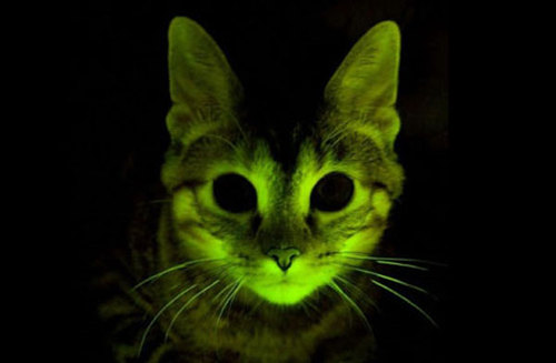 http://data.whicdn.com/images/14647589/Glow_Cat_mayclinic_large.jpg